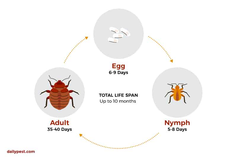 Bed Bugs Everything You Need To Know In 2020 Premo