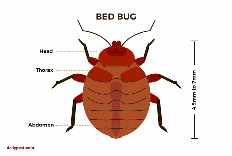 How Many Bed Bugs Come Out Of An Egg