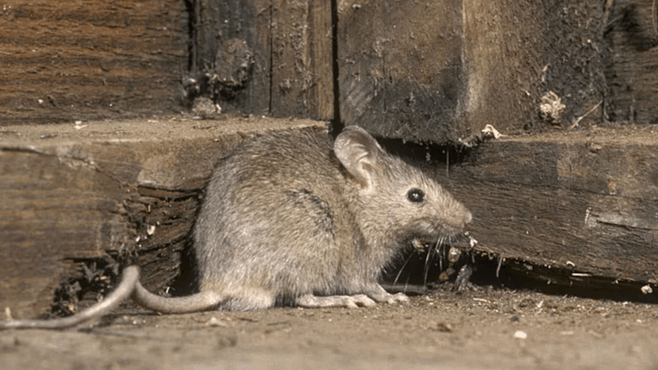 field mouse vs house mouse